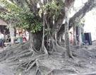 Cây đa 200 năm tuổi được công nhận cây di sản