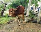 Nhận bò giống, chính quyền phân phát cho người thân cán bộ để...giết thịt!