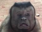 """Chú khỉ """"gây sốt"""" với gương mặt giống... người đàn ông cáu kỉnh"""