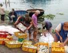Ngư dân Quảng Nam phấn khởi vì trúng cá nục