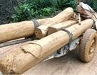 Tạm đình chỉ Trưởng ban Quản lý rừng để lâm tặc hoành hành