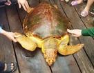 Con rùa biển quý hiếm nặng 80kg dính lưới ngư dân