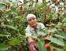 Nông dân Hà Nội tất bật thu hoạch dâu chín