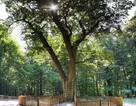 """Kỳ thú câu chuyện """"cây mai mối"""" ở Đức tồn tại hơn thế kỷ"""