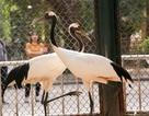 Ngắm loài chim cực quý, nằm trong sách đỏ thế giới ở Hà Nội
