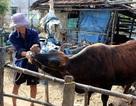 Phú Yên: Người dân mong chính quyền vào cuộc...để cứu bò lở mồm long móng!