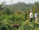 Phát hiện hơn 7000 cây cần sa được trồng trong rẫy