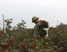 Làng hoa Tây Tựu trầm lắng dù cận ngày Quốc tế Phụ nữ 8.3