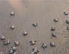 Lần đầu tiên trong 20 năm, rùa trở lại tổ trên bãi biển Mumbai