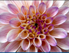 Cách mà các loài hoa biết đã đến lúc nở