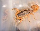 Sự phát triển đầu lạ lùng của loài chân đốt