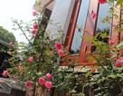Mê mẩn vườn hồng tuyệt đẹp của ông chủ thầu xây dựng
