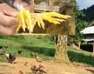 Săn gà chín cựa nơi Đất Tổ: 4 triệu đồng/con