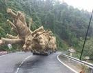 """Vụ vận chuyển cây """"quái thú"""": Nếu kiểm lâm tiếp tay sẽ xử lý nghiêm"""