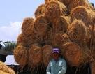 Rơm rạ khan hiếm, nông dân phụ thu thêm bạc triệu