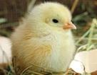 Các nhà khoa học phát hiện cách gà ra khỏi vỏ trứng