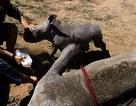 """Clip: Tê giác nhỏ dễ thương tấn công bác sỹ thú y để """"bảo vệ"""" mẹ"""