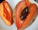 """Hồng xiêm ruột đỏ """"khổng lồ"""" 2kg/quả, giá gần triệu đồng/cây giống có gì đặc biệt?"""