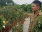 Bỏ công nhân về trồng hoa hồng, 8X thu 500 triệu đồng/năm