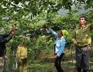 Về nơi trồng chanh leo dễ hơn chăm sóc con trâu