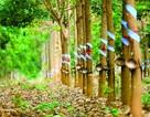 """Tập đoàn Cao su """"xin"""" không xử lý hình sự dự án trồng cao su tại Campuchia"""