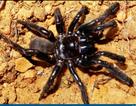 Con nhện nhiều tuổi nhất thế giới