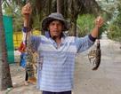 Mua bán giống tôm hùm ngoại tràn lan…tiềm ẩn nguy cơ dịch bệnh cho người nuôi