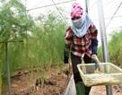 Hà Nội: Măng tây trong nhà lưới cho thu hoạch gần chục triệu đồng mỗi ngày