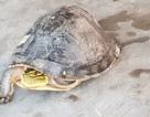 """""""Giải thoát"""" con rùa hộp quý hiếm với... 250 ngàn đồng"""