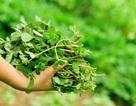 10 lợi ích tuyệt vời của rau sam