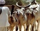 Ấn Độ: Bị dân làng đánh chết vì giết... bò