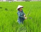 """Vụ nông dân điêu đứng vì """"lúa ma"""": Tích cực tìm nguyên nhân để xử lý"""