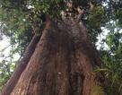"""Phát hiện cây pơ mu """"khủng"""" khoảng 1.000 năm tuổi"""
