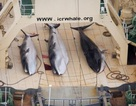 Thợ săn cá voi Nhật Bản giết chết 122 cá voi minke đang mang thai