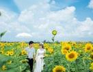 """Mãn nhãn vườn hoa hướng dương """"khổng lồ"""" gây """"sốt"""" ở Thái Bình"""