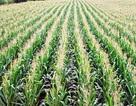 Tăng 47% sản lượng cây trồng bằng cách đẩy mạnh quá trình quang hô hấp