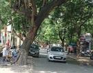 Hà Nội: Tồn tại nhiều cây nghiêng tiềm ẩn nguy hiểm trong mùa mưa bão