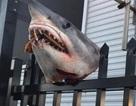 Hãi hùng cảnh đầu cá mập tươi nguyên bị gắn lên hàng rào kim loại