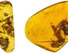 Phát hiện ếch bị mắc kẹt trong hổ phách 99 triệu năm