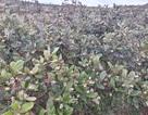 Khám phá đồi sim trĩu quả trên thảo nguyên Bùi Hui