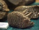 Xem hóa thạch sinh vật cổ đại hàng triệu năm trước tại Hà Nội