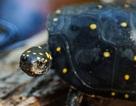 Tiếp viên hàng không buôn lậu hàng chục con rùa trị giá gần 1 tỷ đồng
