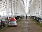 """Lô bò A2 thuần chủng đầu tiên từ New Zealand """"đặt chân"""" vào Việt Nam"""