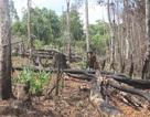 """Xót xa những cánh rừng bị """"cạo trọc, đốt sạch"""""""