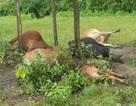5 con bò đồng loạt bị sét đánh chết trên bãi chăn thả