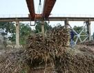 """Doanh nghiệp mía đường đang là """"con nợ"""" của người trồng mía"""