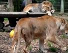 Động vật trốn khỏi sở thú ở Đức và bị bắt lại tại Lünebach