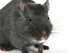 """Hợp chất cần sa """"duy nhất"""" cải thiện trí nhớ của những con chuột già"""