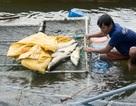 Gần chục tấn cá chết trắng trên sông Bồ