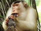 Khỉ đuôi lợn Malaysia ăn thịt chuột